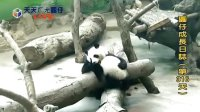 20140518 D316_圓仔成長日記 The Giant Panda Yuan-Zai (360p)
