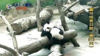 20140518 D316_圓仔成長日記 The Giant Panda Yuan-Zai (360p)
