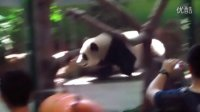 2014-05-16 圓仔可疑的跑跑跑 The Giant Panda Yuan-Zai (1080