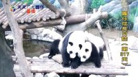 20140519 D317_圓仔成長日記 The Giant Panda Yuan-Zai (480p)