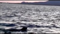 渔民拍下东北虎游泳过河画面