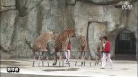 260公斤雄性大老虎与狮子