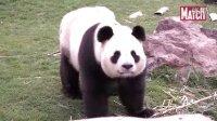 La vie de Huan Huan, panda star à Beauval