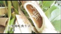 云南的吃虫生活——竹虫
