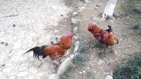 斗鸡:(霸天)打群鸡,点到为止 见好就收。