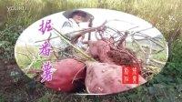 【武义拍客】151024  秋收:掘蕃薯 程国平摄制