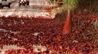 第六十二集 千万红蟹迁移遭蚂蚁群屠杀