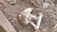 獵奇  第九十五集  老鼠遇上气步枪之花园除害