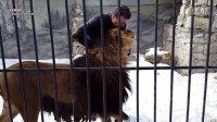巴巴里狮 ( Barbary Lion ) 北非狮在俄国? @狮子 老虎 @狮子 老虎