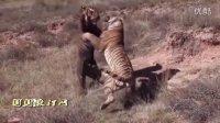老虎合集 什么叫兽中之王
