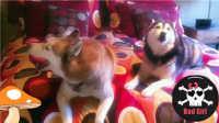 【两只哈士奇就是一台戏呀,这闹腾劲儿,主人是怎么受得了的!】动物搞笑视频集锦 106集