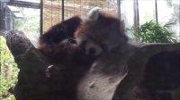 【よこはま動物園ズーラシア】貴重なレッサーパンダを発見!! ★Discover valuable red panda in Yokohama Zoo★