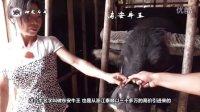【神龙斗牛】天柱金鑫牛王风采-贵州部分到场牛王赛事直击