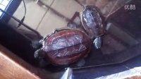 乌龟有趣日常 小草龟向大母草求爱?调戏?萌宠的日常 中华草龟