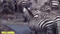 这段视频在动物世界绝对看不到,太残暴了