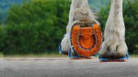 给马穿跑鞋 ,改变千年来马蹄的样子,能让马跑的更快吗