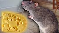 魔哒解说 搞笑老鼠模拟器精灵鼠小弟成为美食的俘虏