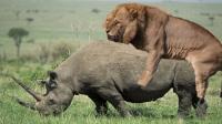非洲雄狮挑战2000公斤犀牛!狮子活活把犀牛杀死