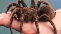世界上最大的蜘蛛: 成年人一只手拿不住