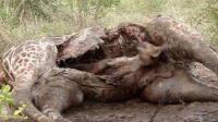 鬣狗钻进长颈鹿肚子吃大餐, 雄狮赶到, 成鬣狗最后晚餐
