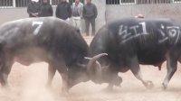 2016年红河擎天大战陆良新村红猛斗牛场   激烈的