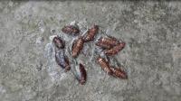 家里蟑螂太多怎么办? 农村小伙自制小陷阱, 蟑螂来多少抓住多少