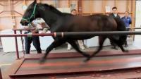国外用跑步机测试马的速度, 马蹄如飞, 眼花的我都看不清