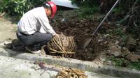 生活科普: 园林工人捆树根原来是为了锁住根部泥土