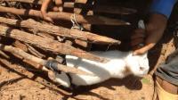 野外生存技巧, 挖个洞用树枝加工成神奇的兔子陷阱, 捕了只大白兔!