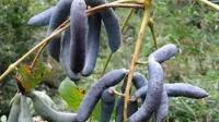 """这种水果被称为""""死人手指"""", 药用价值极高在古代是皇室贡品!"""