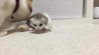 刚出生14天的猫咪, 猫妈妈一点一点的教猫宝宝走路, 画面好有爱