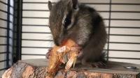 小松鼠吃小虾干