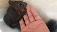 小松鼠舔手指