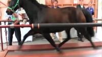 古代其实真有千里马能日行千里, 国外用跑步机测试马的速度, 马蹄如飞眼花的我都看不清