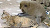 猫咪与猴子玩耍合集,看着猫咪好可怜