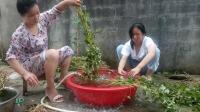 鱼腥草的功效与作用及食用方法 鱼腥草清洗加工视频