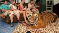 养一只老虎是一种什么体验? 好可爱~想养~