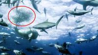 海上移动的沙丁鱼套餐, 被鲨鱼海豹鲸鱼等疯狂分食, 生存艰难!