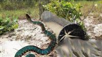 农村男子用铁丝网制作了一个捕鱼笼, 游进去一条剧毒的大蛇