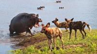 非洲野狗追捕一只飞羚羊, 羚羊无耐向河马求助, 河马的做法让人称赞!