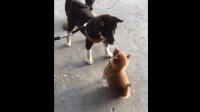 两只柴犬当街吵架, 小柴柴镇定自若: 你以为我怕你啊? !