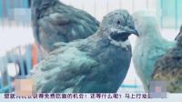成本一块钱一窝的小鸟, 给养殖户带来了百万的利润, 这究竟有什么秘诀呢