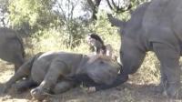犀牛宝宝只顾着向小姐姐撒娇, 完全忘了自己体重是超级大的呀!