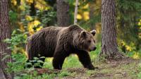 黑熊勇斗大棕熊, 两熊之间力量的较量, 难得一见的场面!