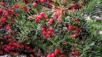 红豆杉种植技术 红豆杉栽培价值 药用价值 红豆杉种植技巧