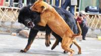 不自量力! 藏獒可以和狮子老虎有一拼! 藏獒大战比特犬, 可怜了的比特犬