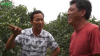 靓果安、大蒜油防治枣树炭疽病(黑头病)用药效果展示(新疆和田洛浦县)视频
