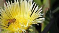 蜜蜂养殖技术蜜蜂病群管理蜂群消毒技术欧洲幼虫腐朽病识别与防御防治方法视频