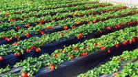 草莓种植技术 草莓种植前景 草莓脱毒苗栽培技术 草莓增产技术