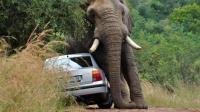 游客开车遇见一头大象, 大象突然发飙, 直接将汽车掀翻